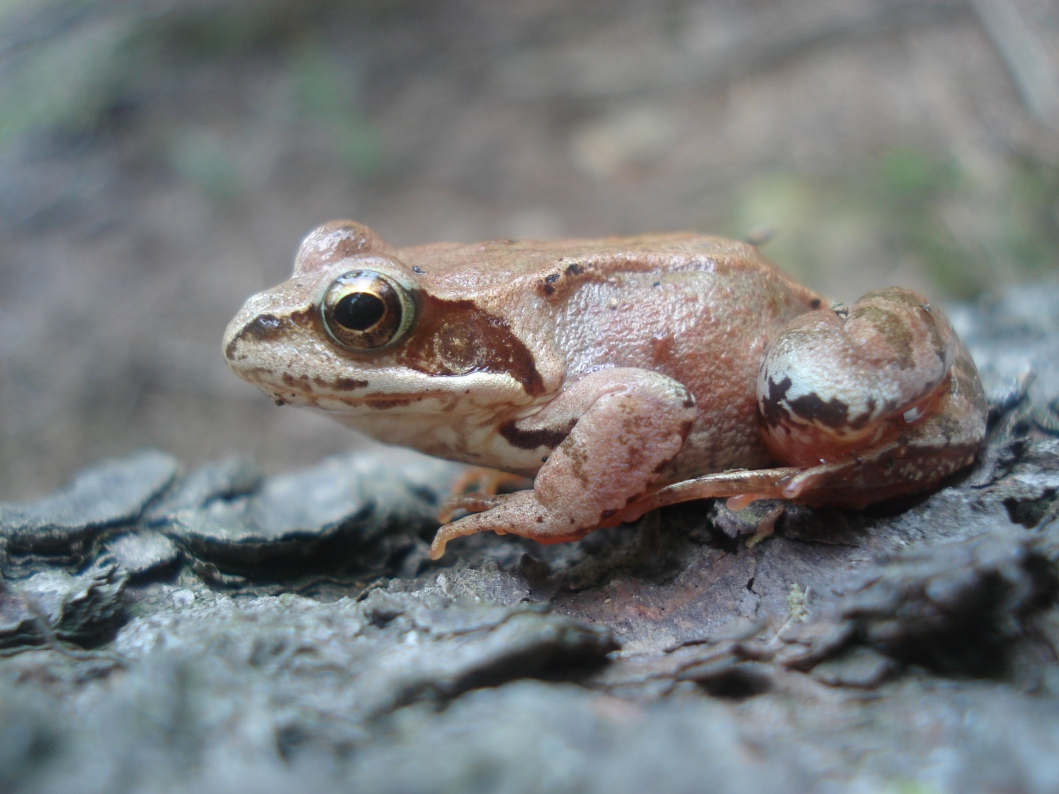 A small brown frog sits on a rough black rock.