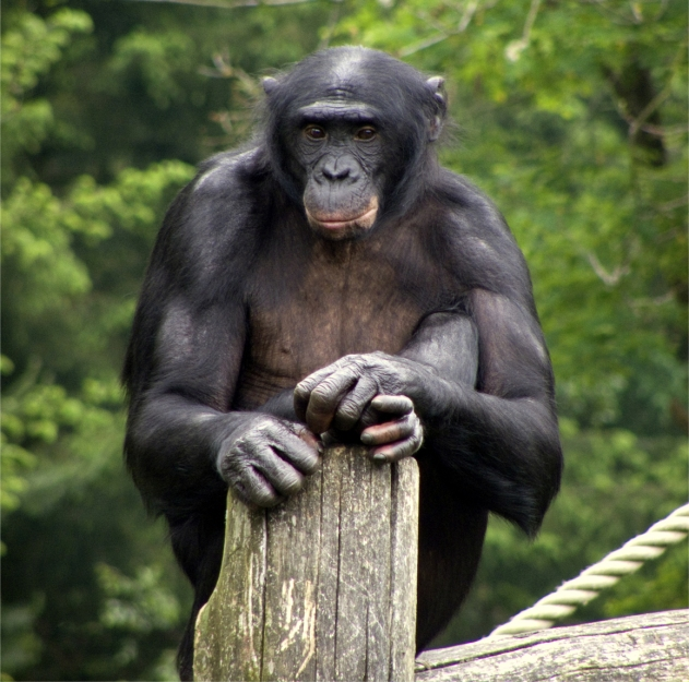 A bonobo squats on a log. The primate rests its hands and one foot on a wood post in front of its body. Green foliage is visible in the background.