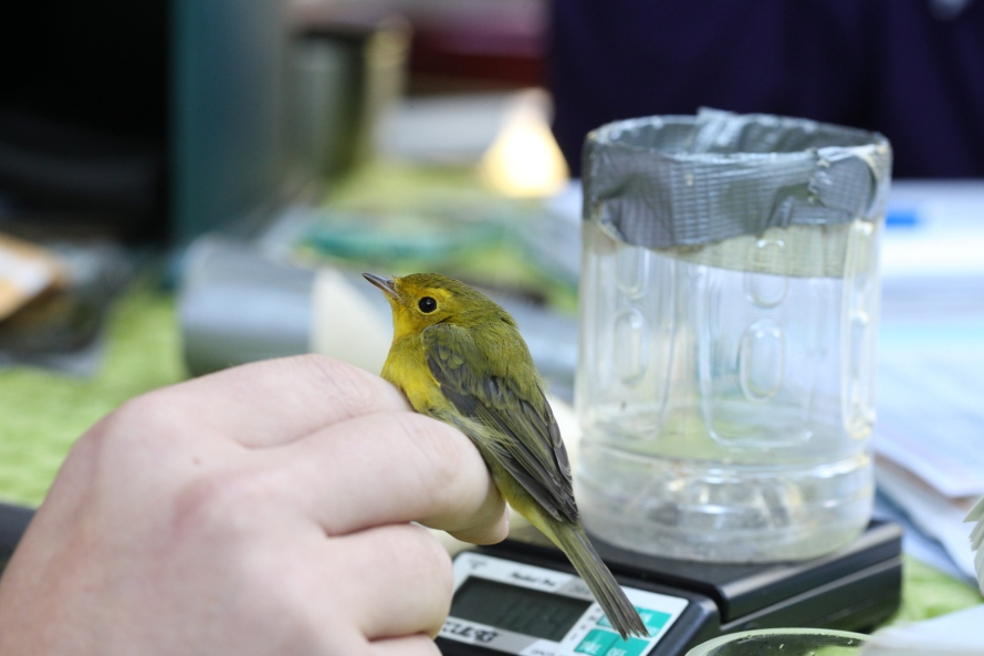 A hand holds the feet of a small yellow bird between its first two fingers so that the bird sits on top of the hand. In the background a glass container with duct tape wrapped over its rim sits on a digital scale.