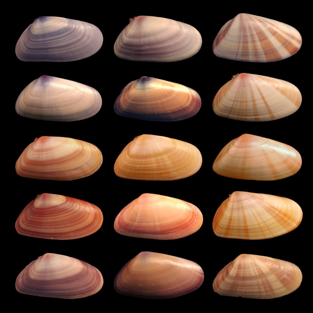 Individuals in the mollusk species Donax variabilis show diverse coloration and patterning in their phenotypes. Coquina shells.