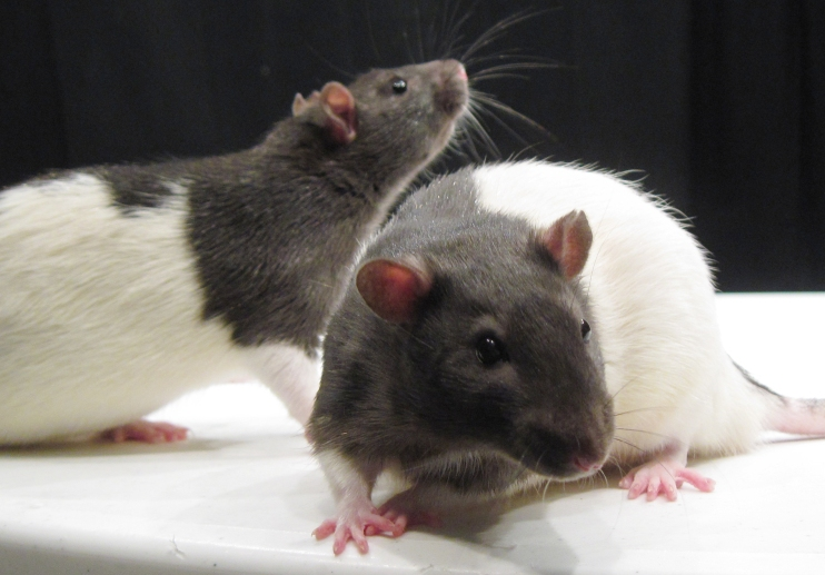 A pair of hooded rats stands on a flat surface.