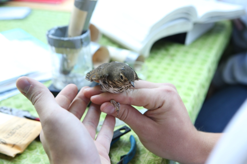 A researcher holds a bird that will be banded.