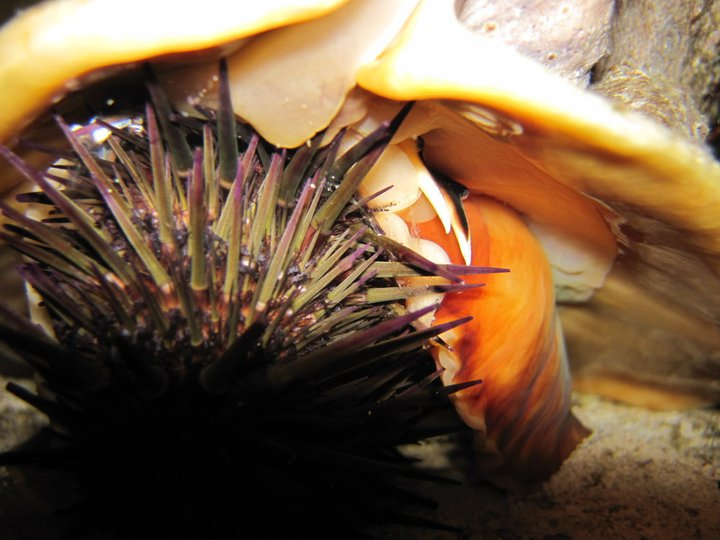 Predatory Queen Helmet Conch eats a sea urchin