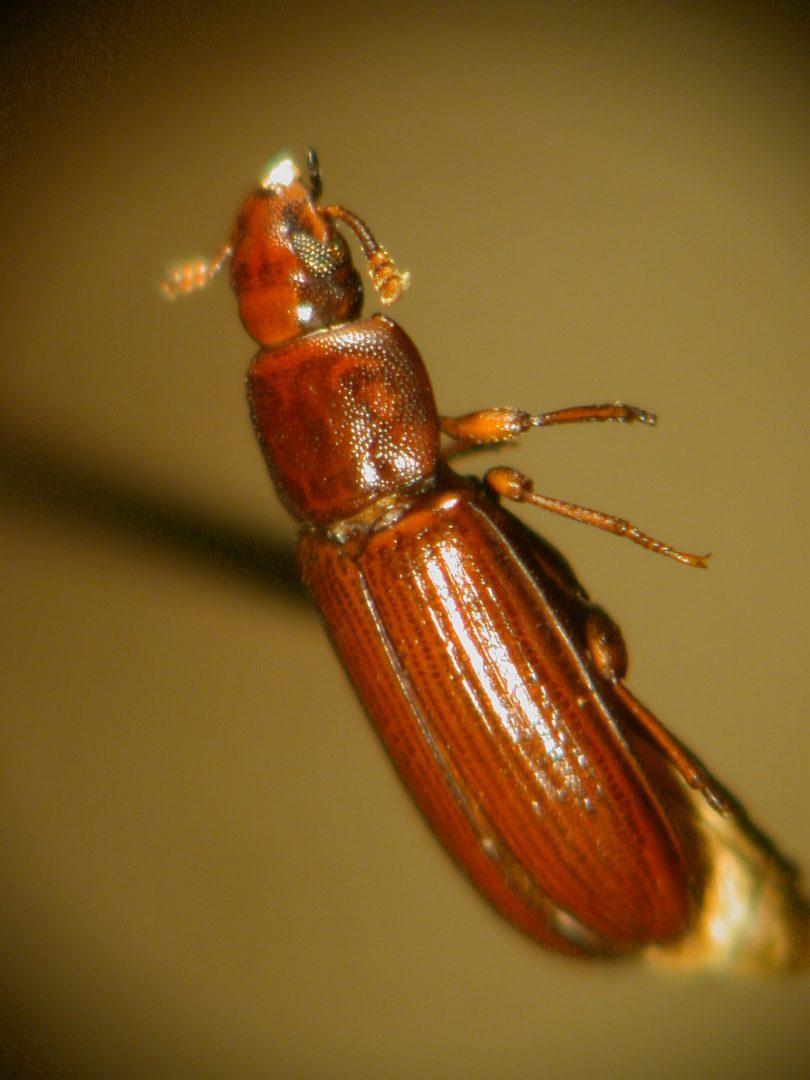 Tribolium castaneum or red flour beetle