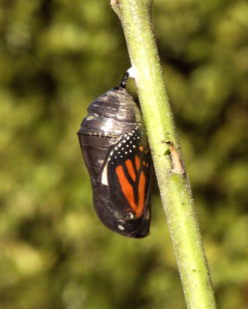 A monarch butterfly's wings are visible through the wall of a chrysalis that is attached to a branch.