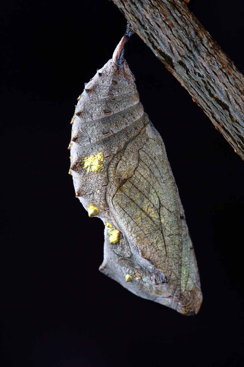 Metamorphosis Cocoon Close Up