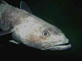 Antarctic toothfish
