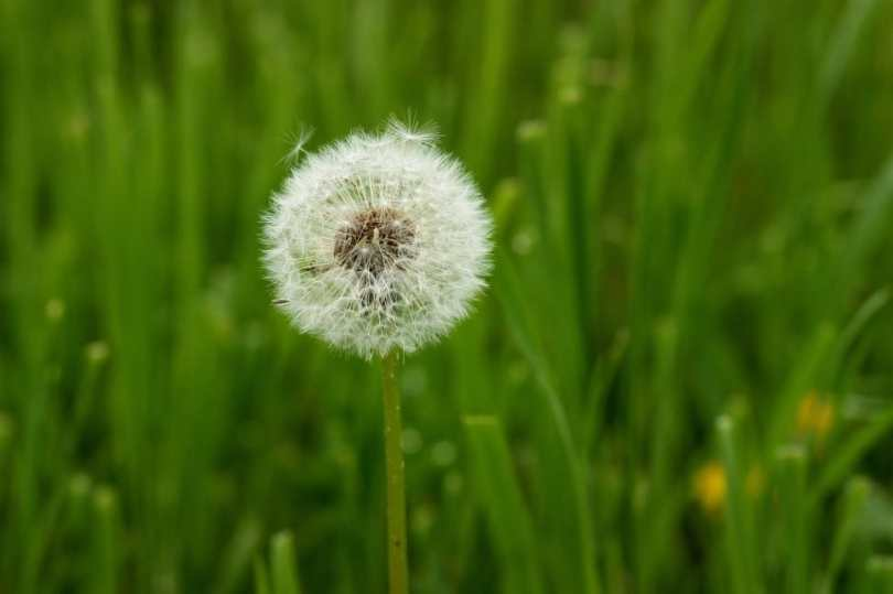 A gone-to-seed dandelion in a green lawn.